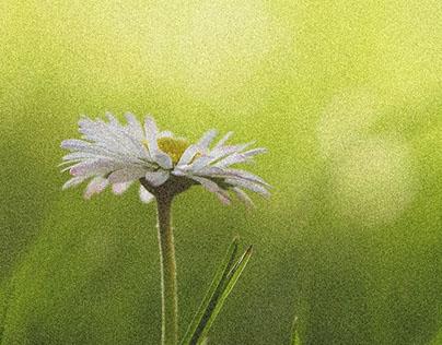 Daisy Flower HD Wallpaper 1920x1080