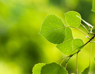 Summer Aspen Leaves