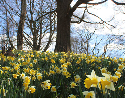 Daffodils at Hever
