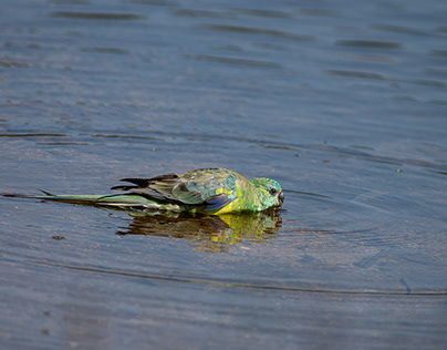 Red Rumped Parrot drinking at he Rezzie