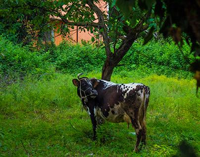 Cow ' 19 Sapanca