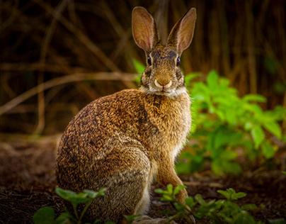Florida Marsh Rabbits