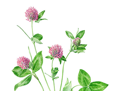 Watercolour of Red Clover