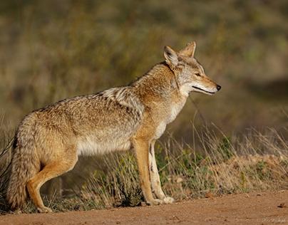 Amazing Animals of Arizona