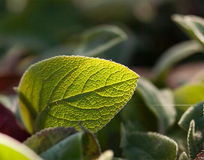 Sage Leaf Macros