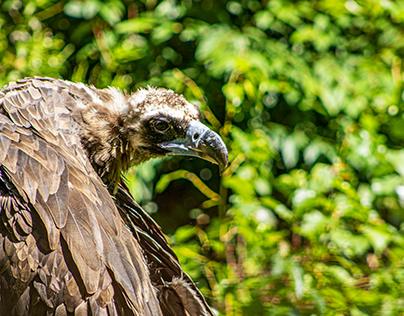 Vultures, part 2: Wings