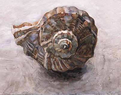 Apex of Rapana shell