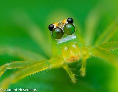 Green Translucent Jumping Spider