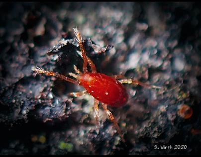 Lichens and red mite