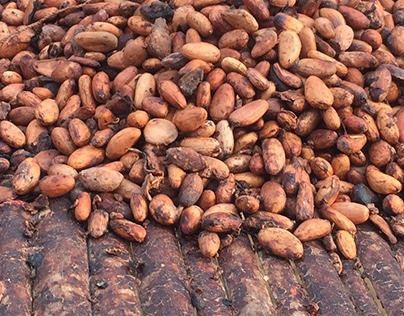 Cocoa Drying Mat Research in Ghana