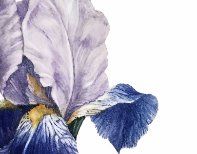 Botanical Illustration. Iris