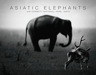 Asiatic Elephant - Dhikala, Jim Corbett National Park