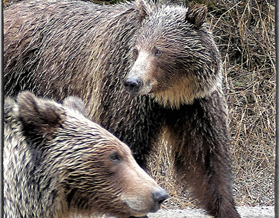 Grizzlies Bears take back the highway