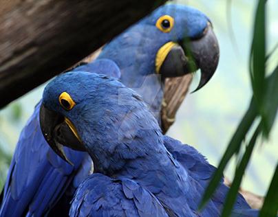 Hyacinth Macaw photo series