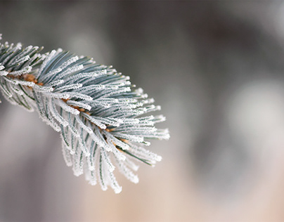Frosted Evergreen Needles