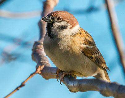 Sparrows close up