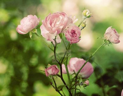 Roses photo series