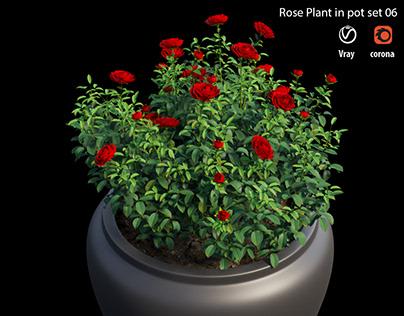 Rose plant in pot set 06