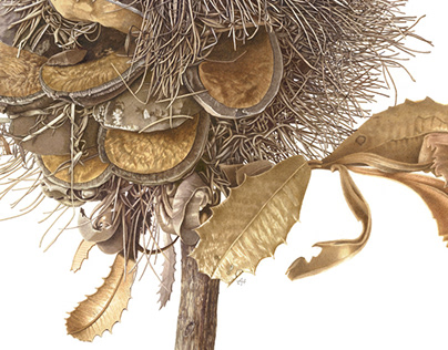 Banksia serrata seedpod - Mt Toomah
