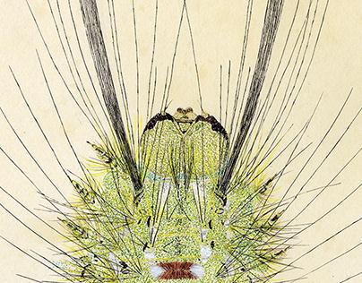 cedar tussock moth