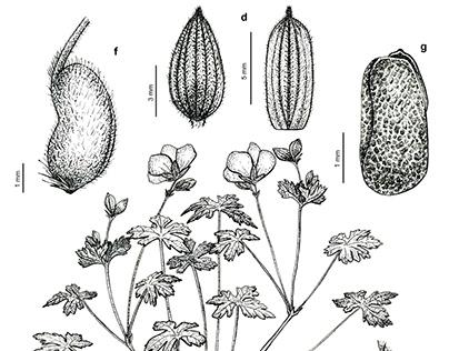 Science illustration of Geranium saxatile