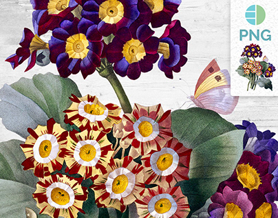 Primula Auricula Vintage Clipart