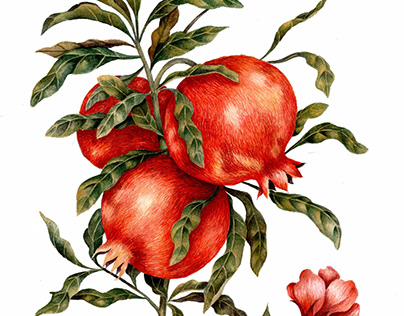 pomegrante botanical illustration