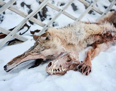 Wolf Hunter, Altai (Russia)