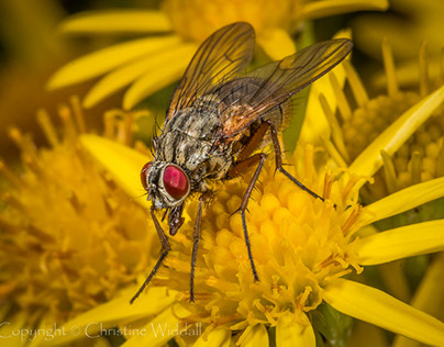 Bees and Hoverflies
