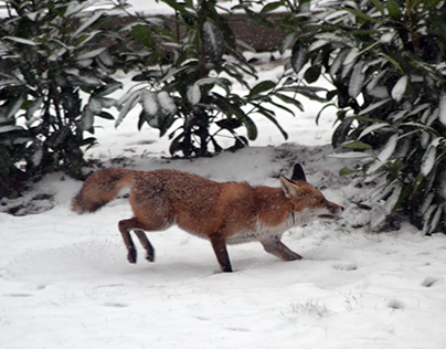 This One Fox That Spent Time In My London Garden