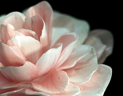 Camellia, Bellflower and Orange blossom