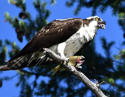 Osprey~Ruth Lake CA