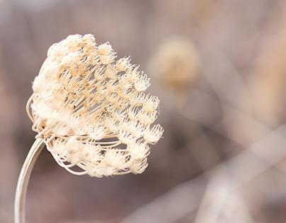 Dried Seed Heads