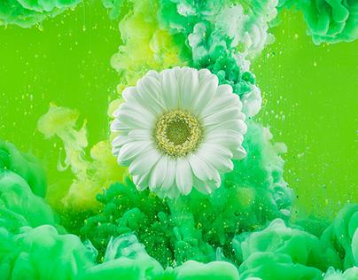 Gerbera Flower Photography
