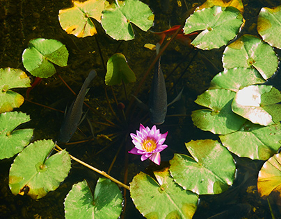 Lotuses in water