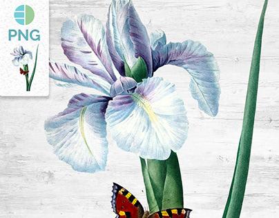 Spanish Iris Clipart
