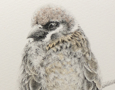 Pencil drawing and Watercolor - Sparrows