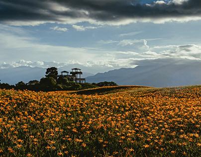 Orange Daylily - 金針花