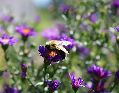 Purple Flower and Bee Photograph