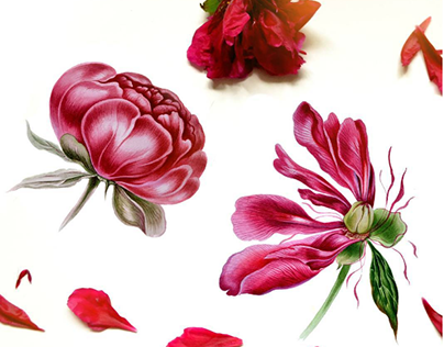 Peony in botanical watercolor