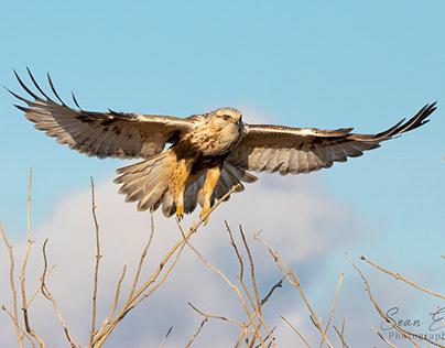 Rough Legged Hawk on Approach For Landing