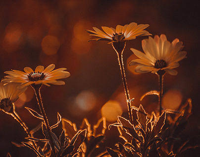 Flowers in the rays of the setting sun