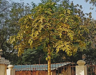papaya tree in village.