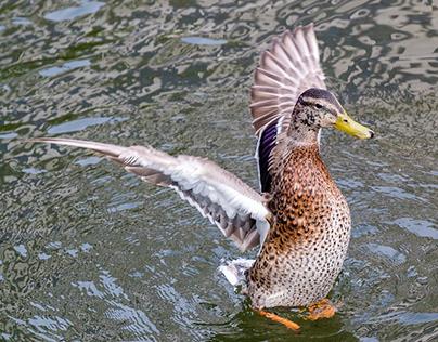Duck in water