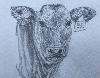 Calf - graphite pencil drawing of baby cow