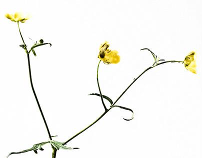 Common or Garden