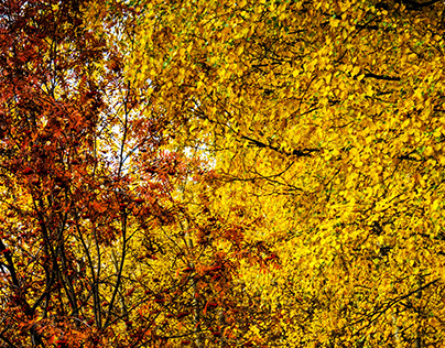 Autumn yellow leaves on trees