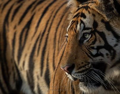 Tigers, Bandhavgarth National Park, India, March 2020