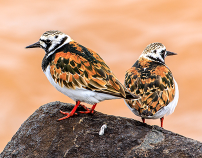 Shorebirds on Lake Superior