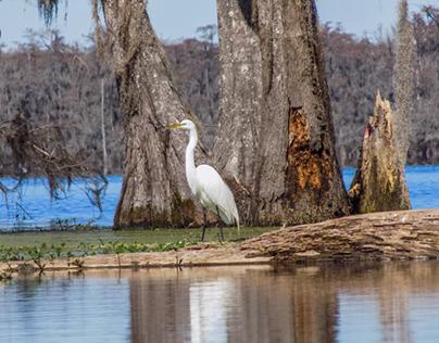 Lake Martin Cypress Preserve 2-16-2017